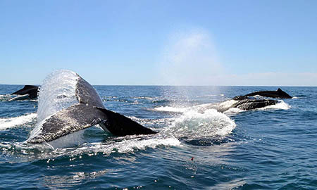 humpback whales swimming