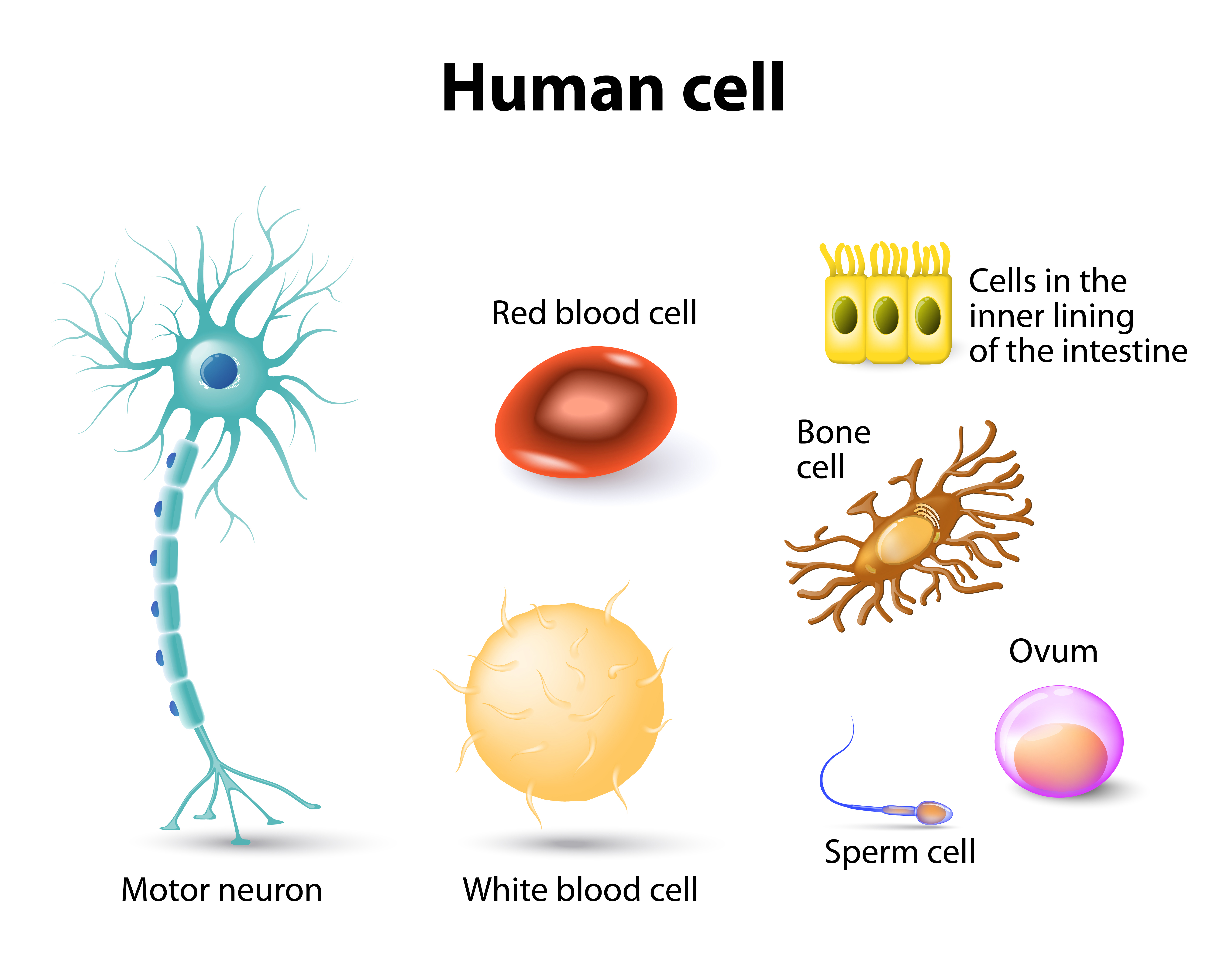 The Human Cell Atlas An International Effort